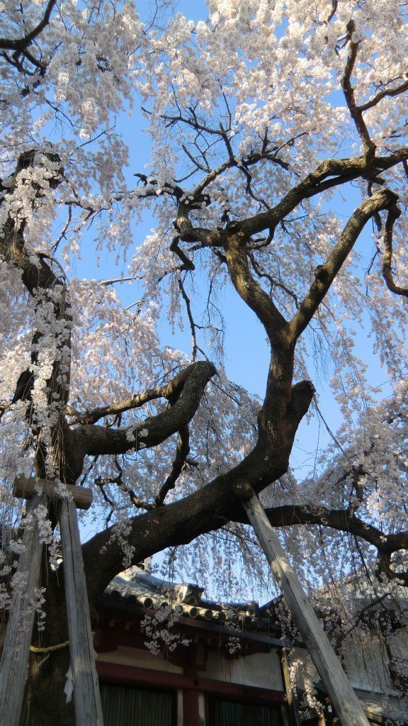 Weeping cherry しだれ桜 - 氷室神社、奈良