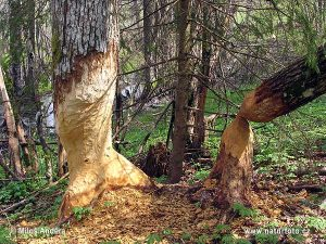 Beavers have sharp teeth. They need them!